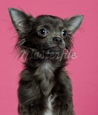 Close-up of Chihuahua puppy, 5 months old, in front of pink background Stock Photo - Royalty-Free, Artist: isselee                       , Code: 400-05696205