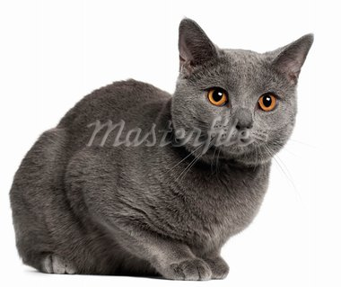 Chartreux cat, 10 months old, in front of white background Stock Photo - Royalty-Free, Artist: isselee                       , Code: 400-05696224