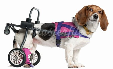 Paralyzed handicapped Mixed-breed dog, 8 years old, in front of white background Stock Photo - Royalty-Free, Artist: isselee                       , Code: 400-05696230