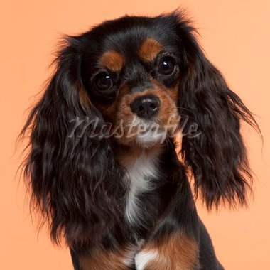 Close-up of Cavalier King Charles Spaniel, 11 months old, in front of orange background Stock Photo - Royalty-Free, Artist: isselee                       , Code: 400-05696288