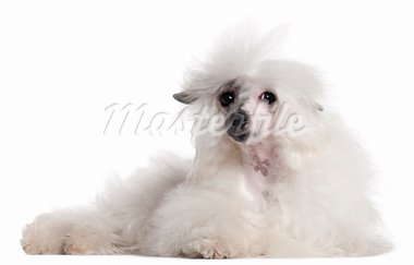 Chinese Crested Dog, 1 year old, lying in front of white background Stock Photo - Royalty-Free, Artist: isselee                       , Code: 400-05697693