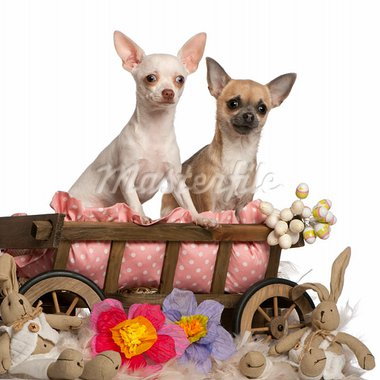 Chihuahuas, 13 months old and 7 months old, sitting in dog bed wagon with stuffed animals in front of white background Stock Photo - Royalty-Free, Artist: isselee                       , Code: 400-05697752