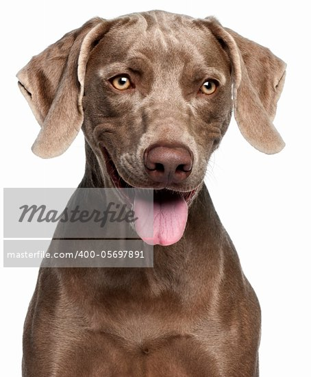 Brown Weimaraner Dog