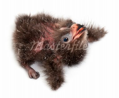 High angle view of Fischer's Turaco, Tauraco fischeri, 2 days old, in front of white background Stock Photo - Royalty-Free, Artist: isselee                       , Code: 400-05697954