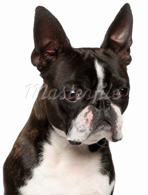 Close-up of Boston Terrier, 1 year old, in front of white background Stock Photo - Royalty-Free, Artist: isselee                       , Code: 400-05697994
