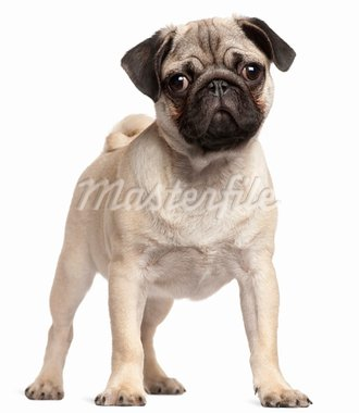 Pug puppy, 3 months old, standing in front of white background Stock Photo - Royalty-Free, Artist: isselee                       , Code: 400-05698006