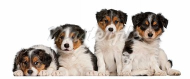 Border Collie puppies, 6 weeks old, in front of white background Stock Photo - Royalty-Free, Artist: isselee                       , Code: 400-05698092