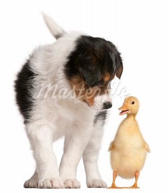 Border Collie puppy, 6 weeks old, playing with a duckling, 1 week old, in front of white background Stock Photo - Royalty-Free, Artist: isselee                       , Code: 400-05698112