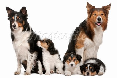 Male Border Collie, 7 years old, Female Border Collie, 3 years old, and Border Collie puppies, 6 weeks old, in front of white background Stock Photo - Royalty-Free, Artist: isselee                       , Code: 400-05698146