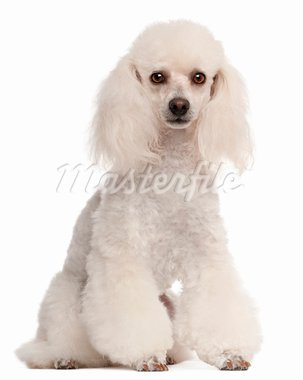 Poodle, 2 years old, sitting in front of white background Stock Photo - Royalty-Free, Artist: isselee                       , Code: 400-05698340