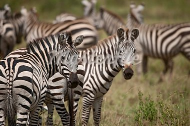 Zebra in Serengeti National Park, Tanzania, Africa Stock Photo - Royalty-Free, Artist: isselee                       , Code: 400-05698402