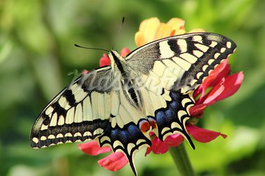 butterfly on flower in the garden Stock Photo - Royalty-Free, Artist: radodn                        , Code: 400-05699481