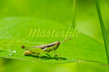 grasshopper in green nature or in the garden Stock Photo - Royalty-Free, Artist: SweetCrisis                   , Code: 400-05700981