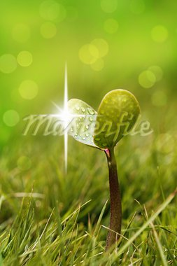 Seedling with shining droplets of water in a garden lawn Stock Photo - Royalty-Free, Artist: smarnad                       , Code: 400-05703143