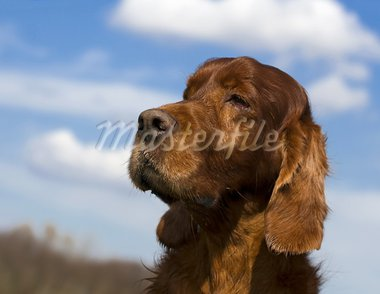 Portrait of a senior male Irish red setter Stock Photo - Royalty-Free, Artist: ximinez                       , Code: 400-05705345