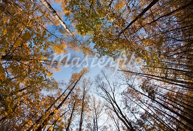 Autumn sky in birch forest with wide angle lens Stock Photo - Royalty-Free, Artist: Mbongo                        , Code: 400-05705557