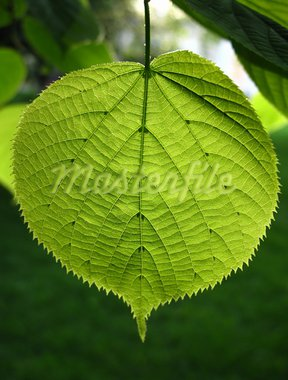 green leaf of linden tree glowing in sunlight Stock Photo - Royalty-Free, Artist: didesign                      , Code: 400-05705757