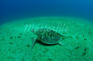sea green turtle a underwater view. red sea, egypt. Stock Photo - Royalty-Free, Artist: bashta                        , Code: 400-05705935