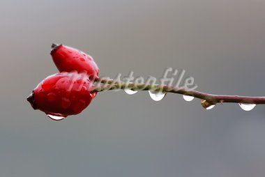 two red rosehip on a branch with water Stock Photo - Royalty-Free, Artist: porojnicu                     , Code: 400-05707941