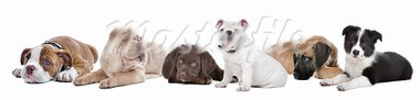 large group of puppies on a white background.from left to right,Bulldog,shar-pei,chocolate Labrador,English Bulldog,great dane,border,collie Stock Photo - Royalty-Free, Artist: eriklam                       , Code: 400-05708005