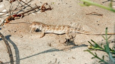 Lizard on the beach sand. Natural environment close up Stock Photo - Royalty-Free, Artist: qiiip                         , Code: 400-05708083