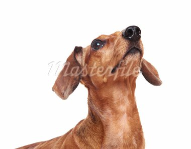 dachshund dog looking up Stock Photo - Royalty-Free, Artist: leungchopan                   , Code: 400-05710855