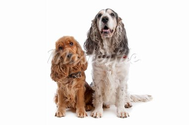 Two English Cocker Spaniel dogs in front of a white background Stock Photo - Royalty-Free, Artist: eriklam                       , Code: 400-05711329