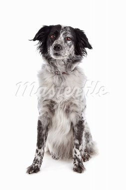 stabyhoun(Frisian Pointer) in front of a white background Stock Photo - Royalty-Free, Artist: eriklam                       , Code: 400-05711333