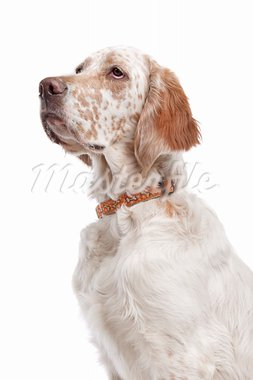 English Setter in front of a white background Stock Photo - Royalty-Free, Artist: eriklam                       , Code: 400-05711343