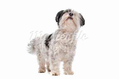 shih tzu in front of a white background Stock Photo - Royalty-Free, Artist: eriklam                       , Code: 400-05711353