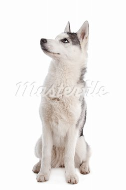Siberian Husky puppy in front of a white background Stock Photo - Royalty-Free, Artist: eriklam                       , Code: 400-05711357