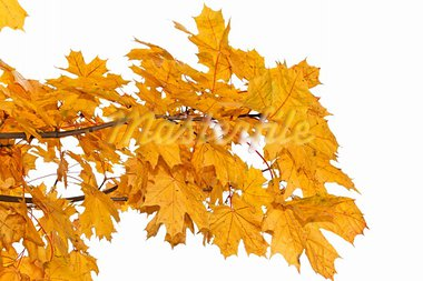 Maple branch with bright yellow leaves in autumn season. Isolated on a white background Stock Photo - Royalty-Free, Artist: qiiip                         , Code: 400-05711775