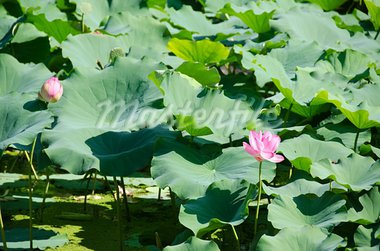 Beautiful pink lotus flowers, Nelumbo nucifera in a lake in Japan Stock Photo - Royalty-Free, Artist: Arrxxx                        , Code: 400-05713701