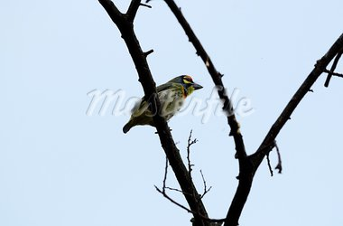 beautiful coppersmith barbet(Megalaima haemacephala) Stock Photo - Royalty-Free, Artist: cowboy54                      , Code: 400-05714243