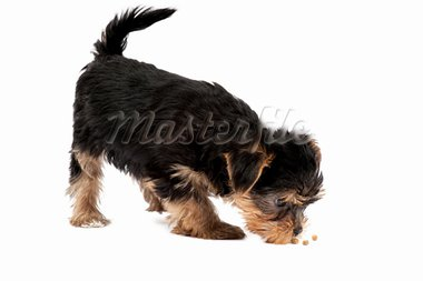 Yorkshire Terrier puppy isolated over white background Stock Photo - Royalty-Free, Artist: Koljambus                     , Code: 400-05715449