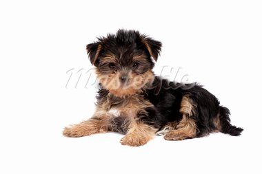 Yorkshire Terrier puppy isolated over white background Stock Photo - Royalty-Free, Artist: Koljambus                     , Code: 400-05715459