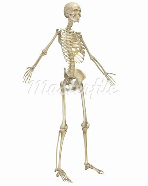 A angled front view illustration of the human skeletal anatomy. Very educational and detailed. Stock Photo - Royalty-Free, Artist: ArtAndSoulPhotoStudio         , Code: 400-05715951