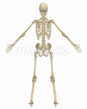 A rear view illustration of the human skeletal anatomy. Very educational and detailed. Stock Photo - Royalty-Free, Artist: ArtAndSoulPhotoStudio         , Code: 400-05715954