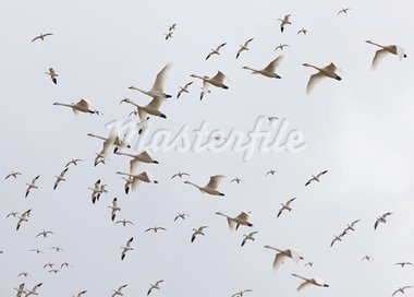 Migrating tundra swans and snow geese wheeling in the sky. Stock Photo - Royalty-Free, Artist: chiptape                      , Code: 400-05716706