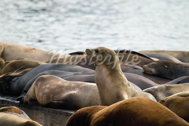 Sea Lions Sunning on Barge at Pier 39 in San Francisco California Stock Photo - Royalty-Free, Artist: jpldesigns                    , Code: 400-05717785