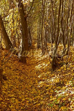 Ravine in the autumn woods covered with fallen maple leaves Stock Photo - Royalty-Free, Artist: qiiip                         , Code: 400-05720018