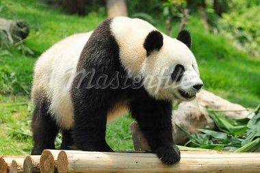 panda Stock Photo - Royalty-Free, Artist: leungchopan                   , Code: 400-05721493