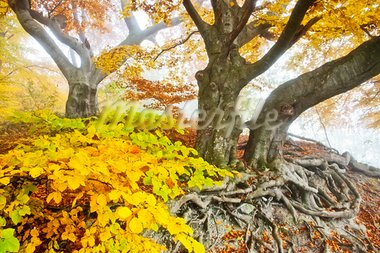 An image of a beautiful yellow autumn forest Stock Photo - Royalty-Free, Artist: magann                        , Code: 400-05724384