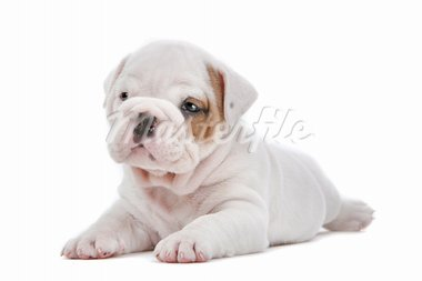 English Bulldog puppy in front of a white background Stock Photo - Royalty-Free, Artist: eriklam                       , Code: 400-05724440