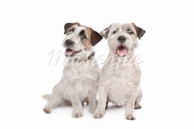 Jack Russel Terrier in front of a white background Stock Photo - Royalty-Free, Artist: eriklam                       , Code: 400-05724478
