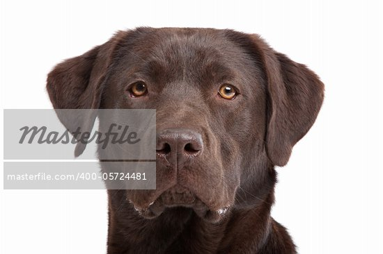 Chocolate Labrador in front of a white background Stock Photo - Royalty-Free, Artist: eriklam                       , Code: 400-05724481