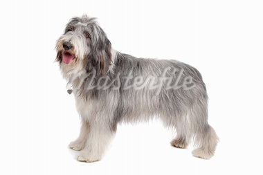 bearded collie in front of a white background Stock Photo - Royalty-Free, Artist: eriklam                       , Code: 400-05724490