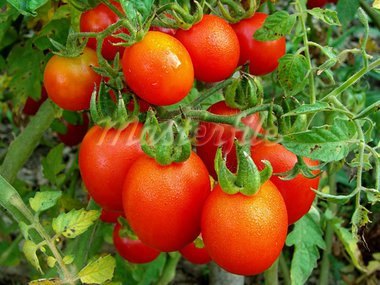 bunch of tomatoes ripening on the branch Stock Photo - Royalty-Free, Artist: DLeonis                       , Code: 400-05724549