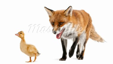 Red Fox, Vulpes vulpes, 4 years old, playing with a domestic duckling in front of white background Stock Photo - Royalty-Free, Artist: isselee                       , Code: 400-05726293