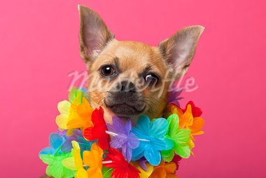Close-up of Chihuahua wearing colorful lei, 12 months old, in front of pink background Stock Photo - Royalty-Free, Artist: isselee                       , Code: 400-05726562